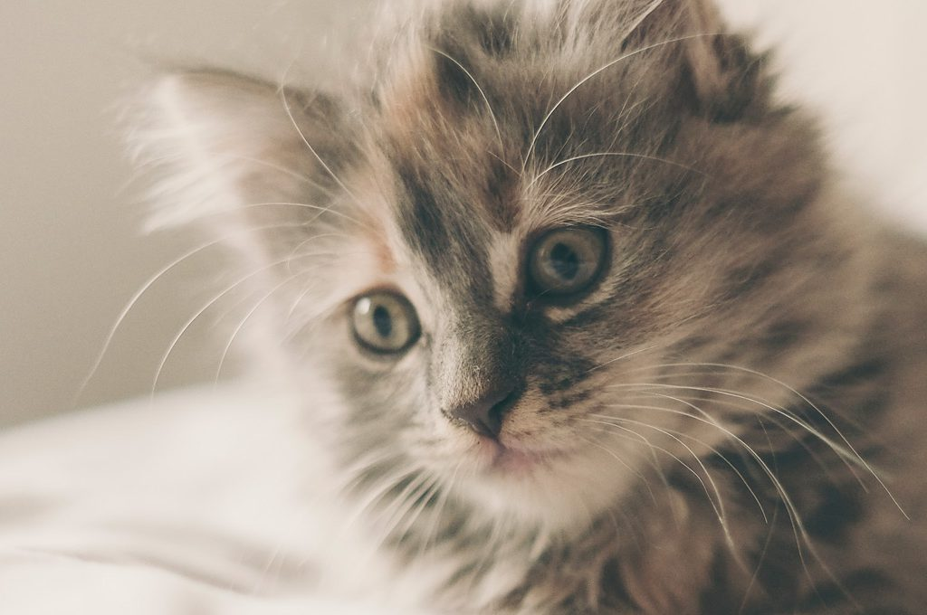 Süße kleine Katze schreibt Catcontent per Gedankenübertragung auf deinem Laptop!